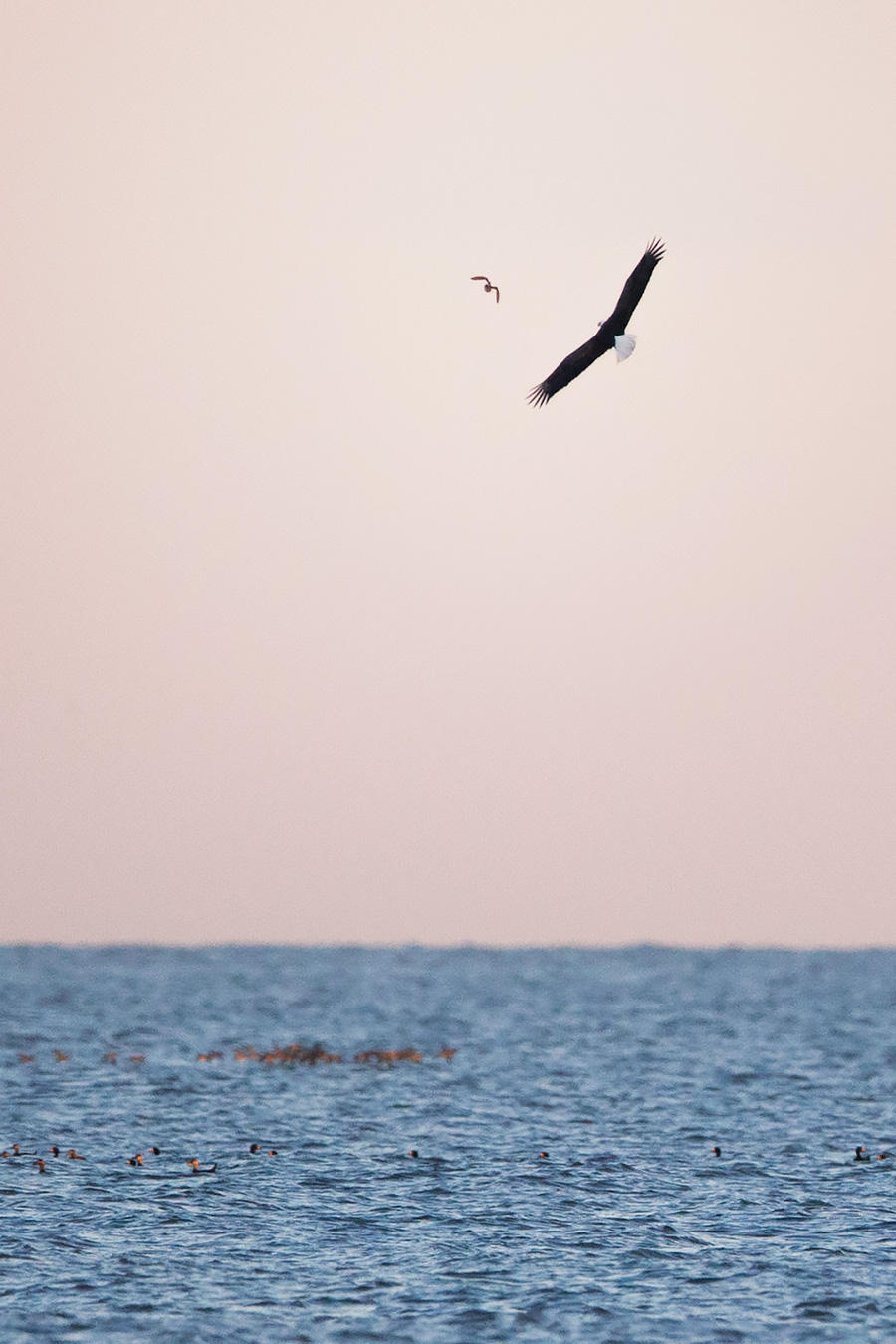 Did you know Bald Eagles eat burd? It's true. While they prefer fish, they are top notch scavengers. Here is a shot from tonight.... this Eagle fish unsuccessfully for about 10 minutes. On his return to the beach, he took a shot at this unfortunate duck.