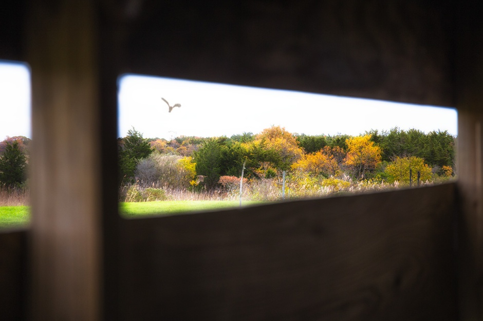 View From The Blind: Northern Harrier, comin' in hot!