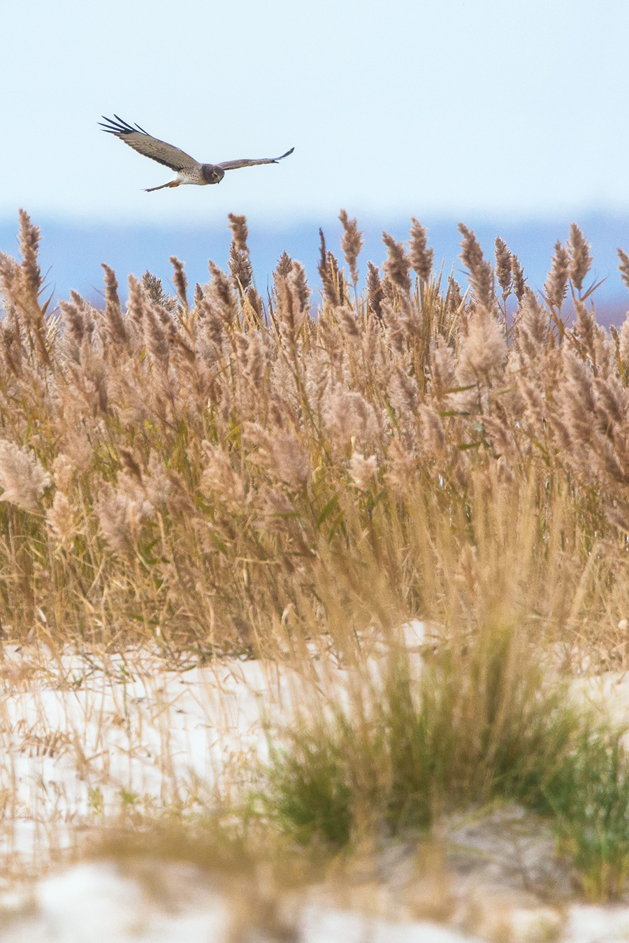 "I learned that Kathy also loves the Northern Harrier, so I have been on a continual mission to capture the perfect photo of one to impress Kathy. Just in this week, a first photo of the elusive ""Grey Ghost""; the male Northern Harrier on LBI."