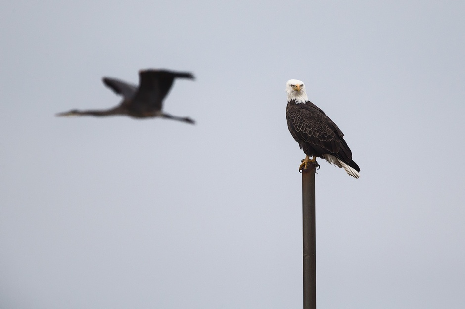 Stewart the Bald Eagle spent a quiet afternoon on his pole, getting harassed by just about every Raptor on the Island. Even this Great Blue Heron joined in on the fun.