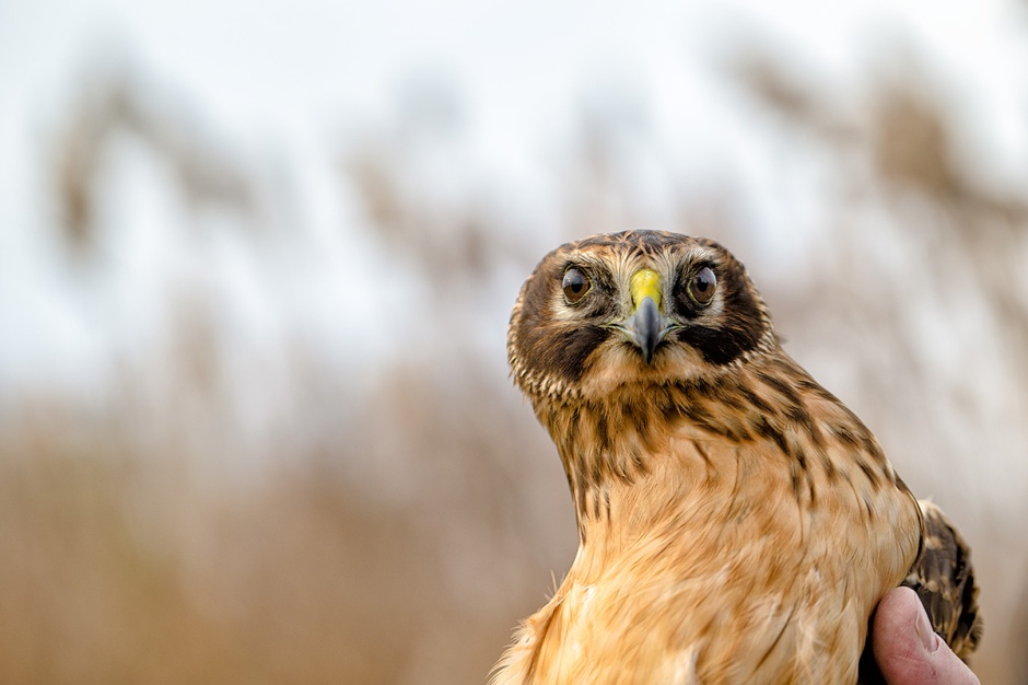 Catch of the Day: A Beautiful Northern Harrier. Finally, a NOHA shows me its Owl Face!