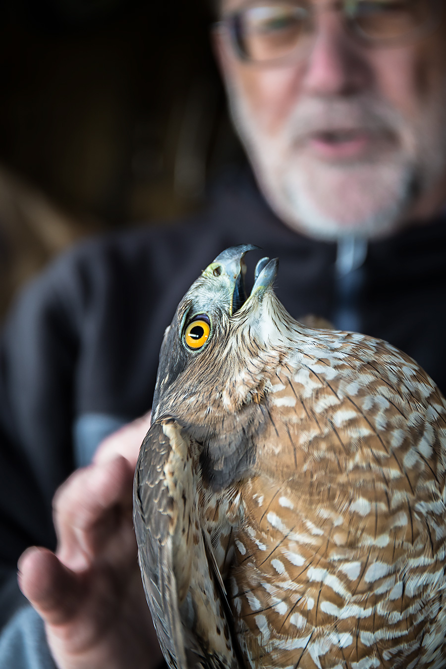 """PM"" Paul Napier of the Cape May Raptor Banding Project, clearly petting that Coopers Hawk."