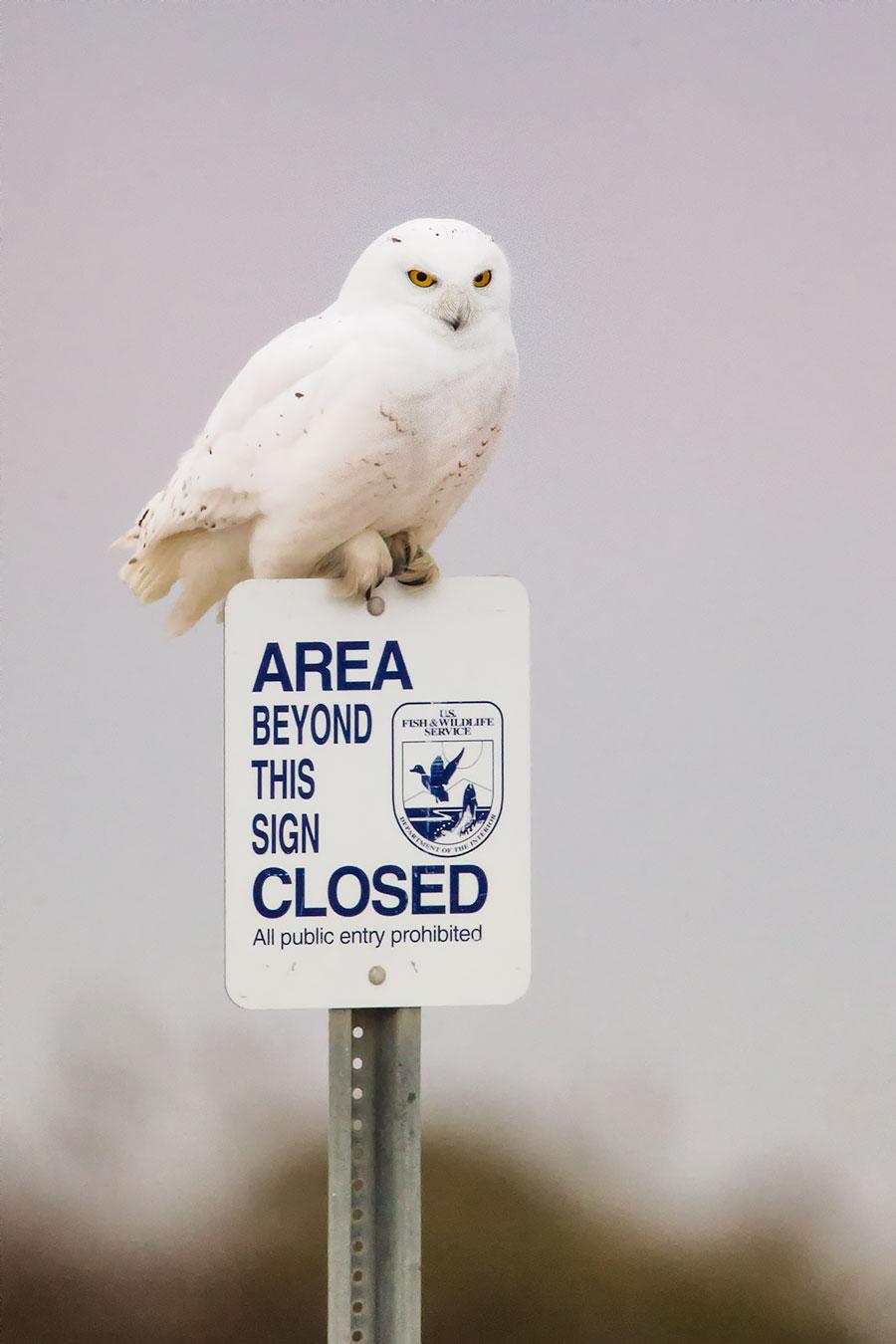 Mr. Handbersome, The Snow Owl