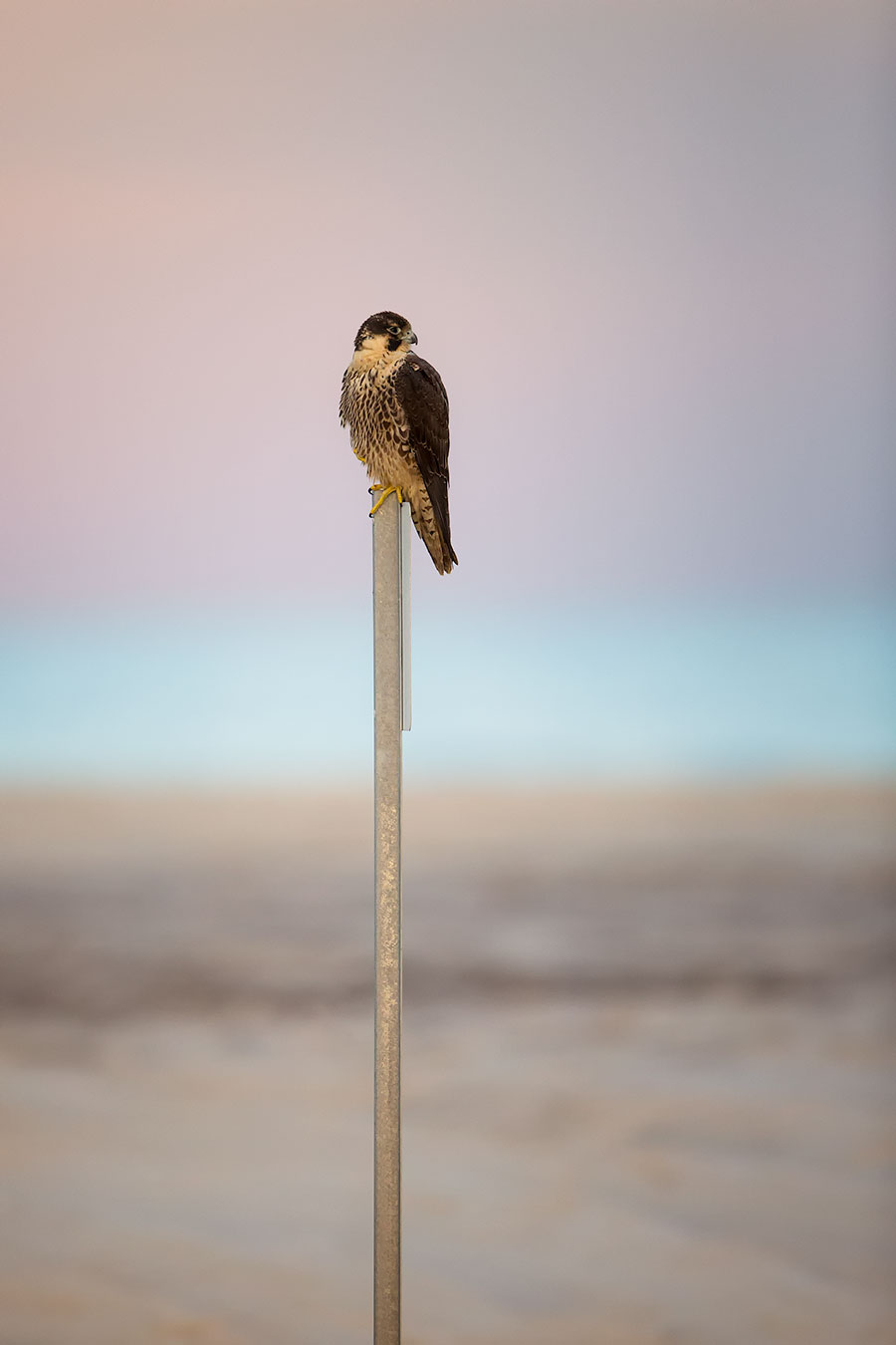 The results of the recent year end pole showed a surprisingly low number of votes, 18%, for Josephine Durt the Peregrine Falcon for Pole Master. I found that a bit odd considering how the Peregrine Falcon, the world's fastest animal and also the world's largest attitude clearly rule the beaches around here. I ran down to the pole tonight to check it out and see what was what.