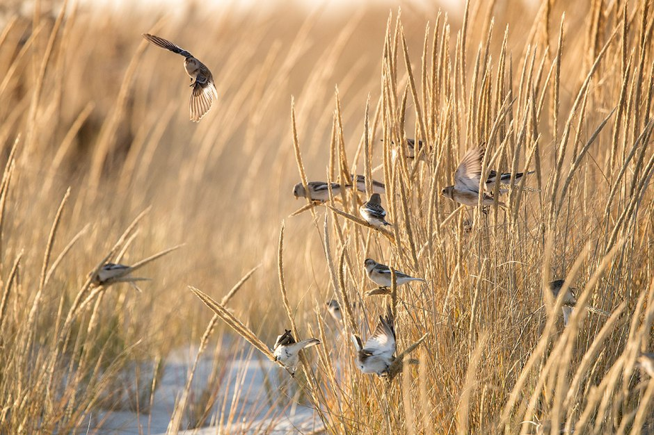 Snow (Bunting) covered dunes. Winter Is Coming.