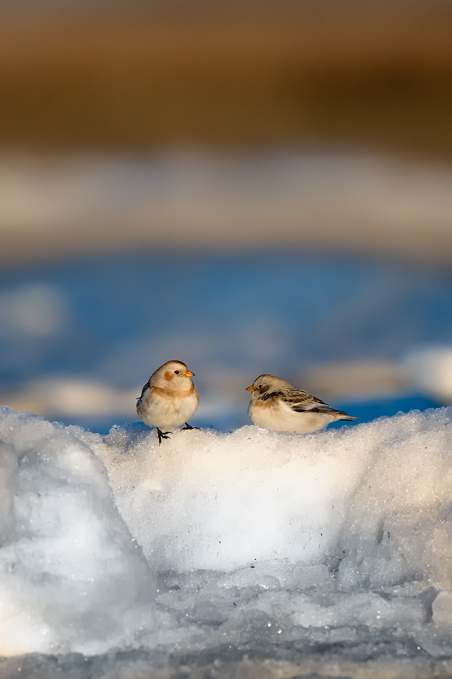 Ice Bunting In Love