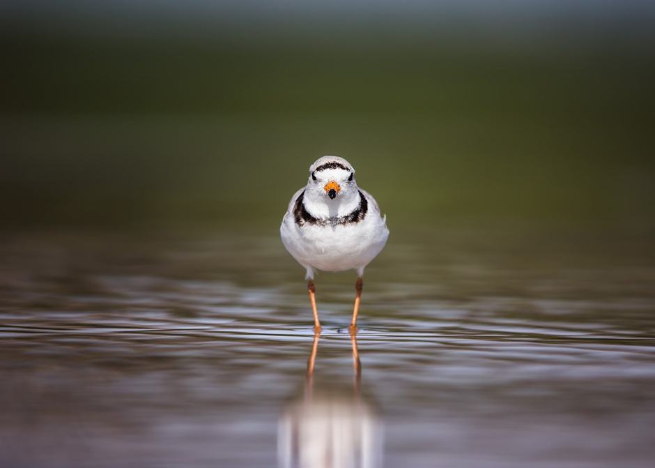 Plover Ahead