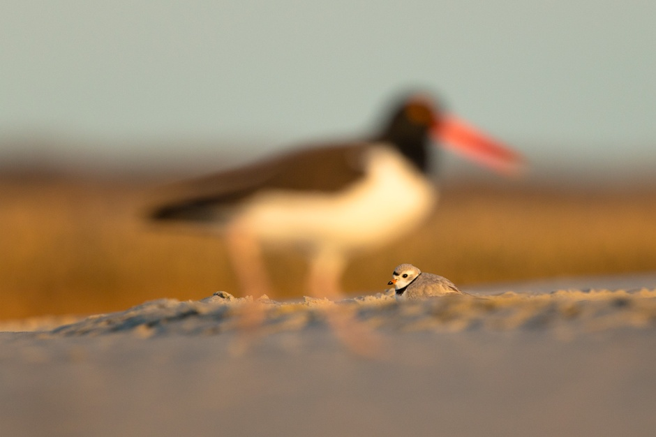 The Disappearing Oystercatcher