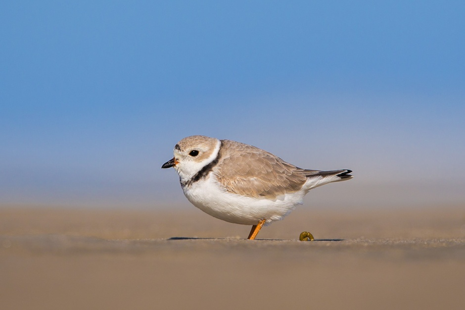 A Perfect Piping Plover Poop