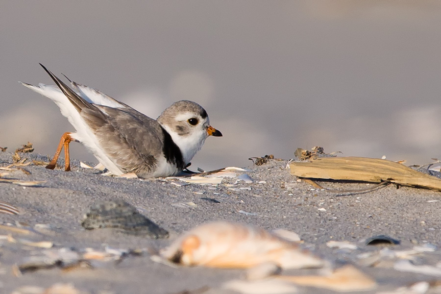 Look at how happy that little PIPL is. He is digging his Scrape: a shallow little impression in the sand where the world's most adorable animal will be born, provided you don't step on them.