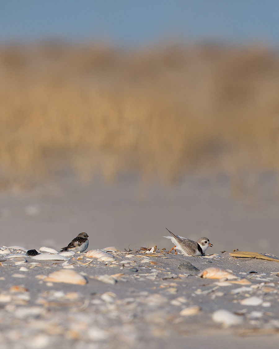The last Snow Bunting leaving LBI watches the first Piping Plover arriving dig himself a home for the Summer.