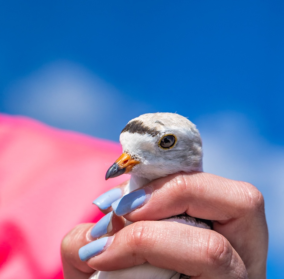 One of our local Piping Plover just became world famous. And also got a serious finger snuggle.