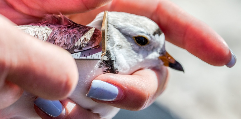 But banding is an amazing tool to help us understand our mysterious wild neighbors who love the Beach as much as we do, and also like us, couldn't live without it.