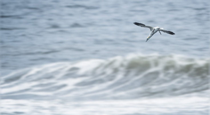 Jay noted that didn't add up. It is unusual for Gannet to working the surf so close to shore. Jay has been predicting an imminent Bunbker Biomass Explosion based on the power-conservation methods put in place for the oily monsters.