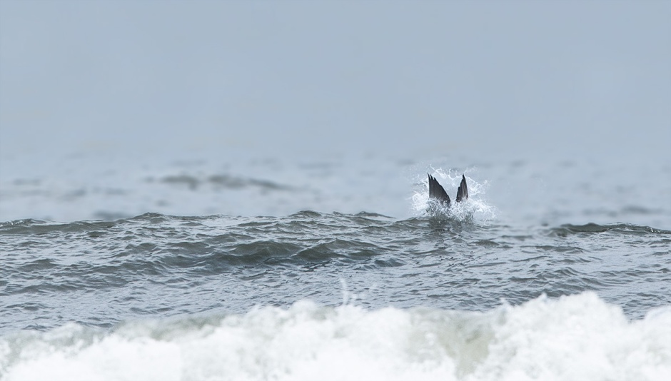 Impact! Bunker fuels most of the cool things you'll see in the Ocean from the comfort of your Beach Chair. Osprey, Dolphin, Humpback Whales, and of course, dive-bombing Gannet,  put on quite a show when mobs of Bunker get balled up nearshore,