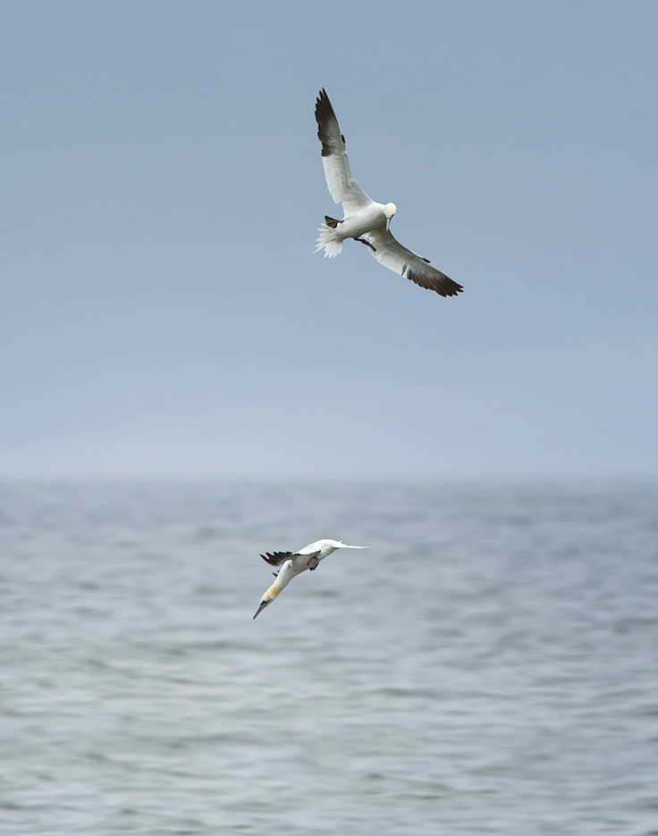 The Ins-gannet-y continues.