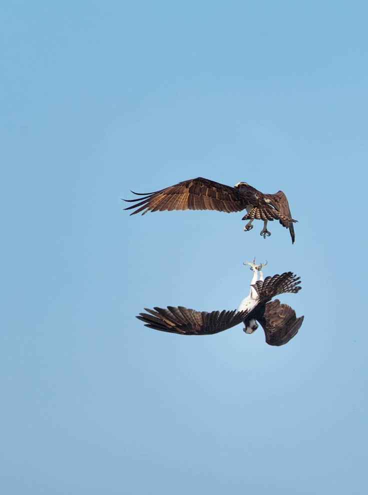 Another male was attracted to the chose, and decided to try and steal the girl, and the nest, for himself.