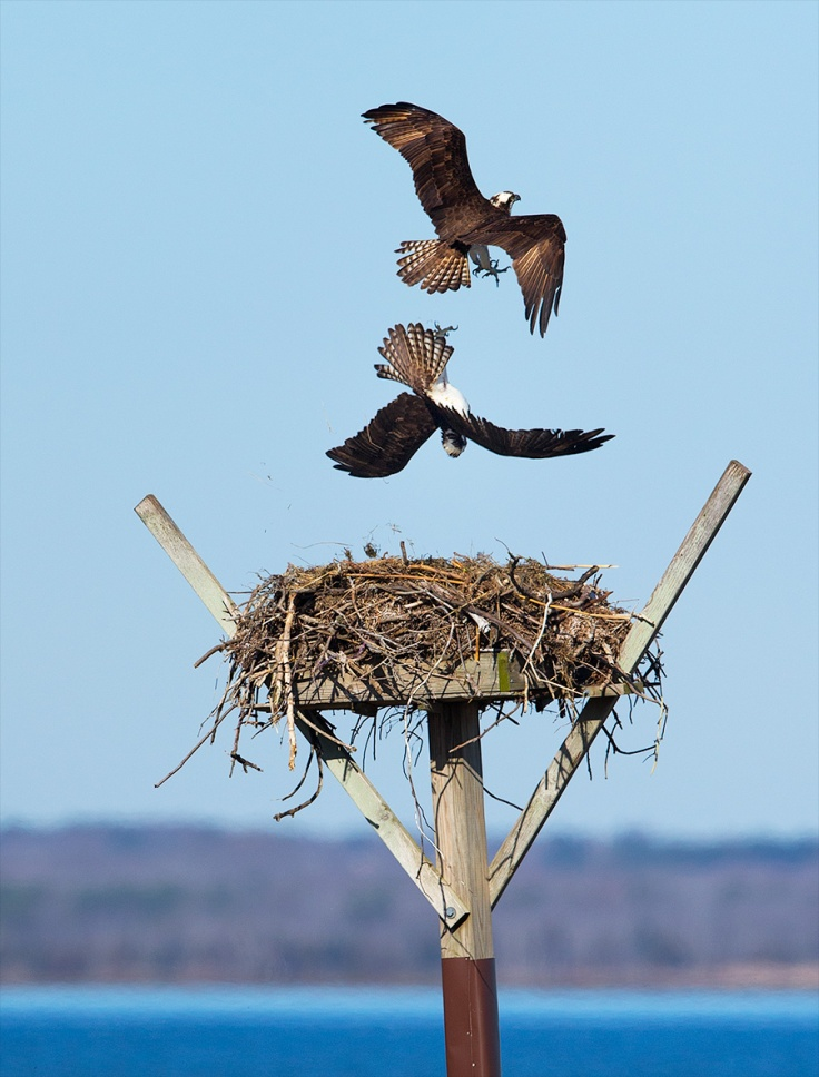 Artisan LBI Osprey Nests, hand crafted by Osprey Ben Wurst and The Conserve Wildlife Foundation of NJ, are extremely desirable Real Estate. This whole episode should make us retying Summer Rentals, Osprey Styles.