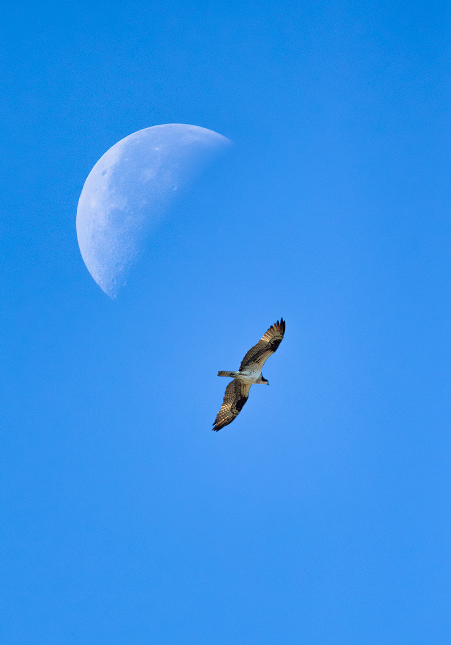 Bonus: Post-Skydance Osprey Is Over The Moon. Actually, Under The Moon.