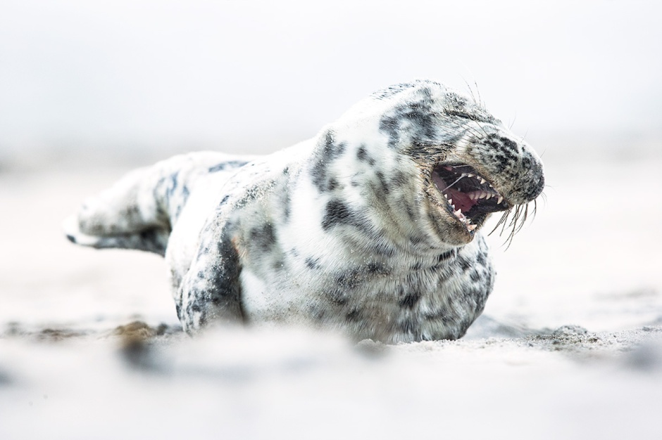 And even this adorable little 3 month old Seal Pup can't wait for an opportunity to bite your leg off