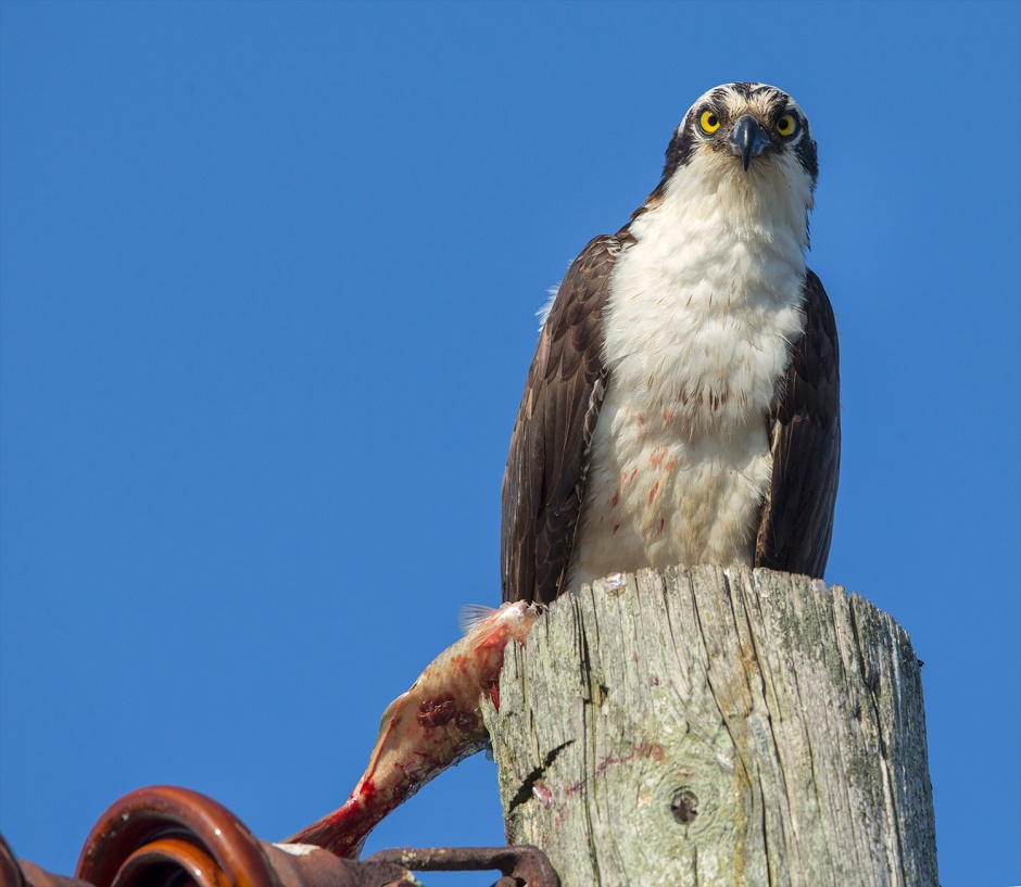 Look, all's I said was, you shouldn't perch on anything with wires, especially with your wet, oily fish. You could get electrocuted. Happens a lot. It is a major cause of Osprey mortality in the U.S... just sayin'.