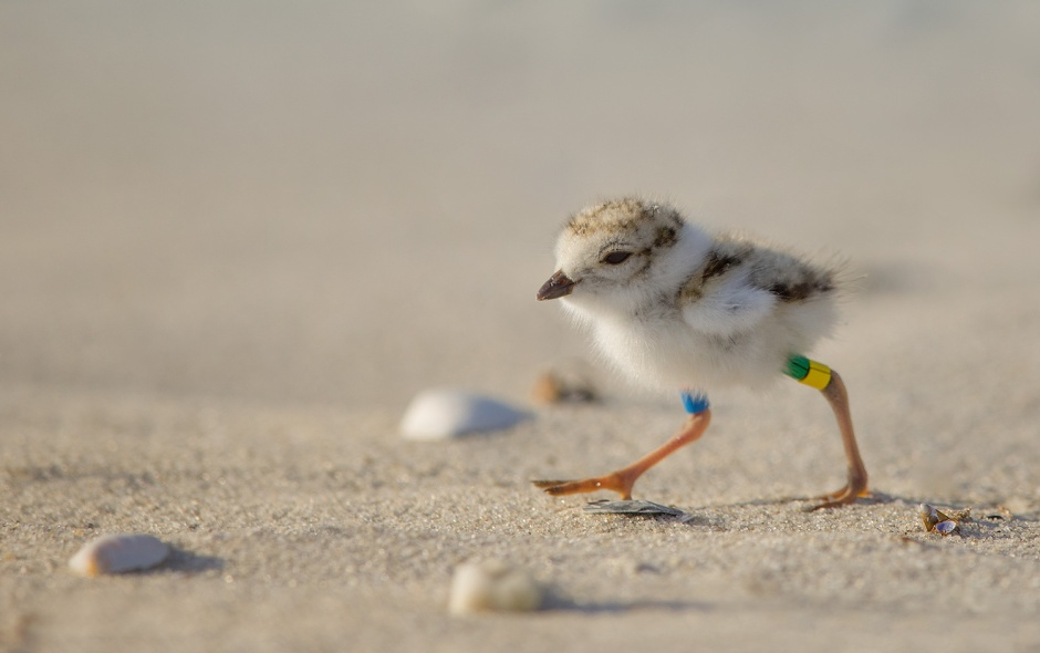If you saw a Piping Plover with Green & Yellow ring bands on one leg, please let me know!