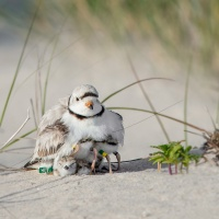 My Banded Piping Plover