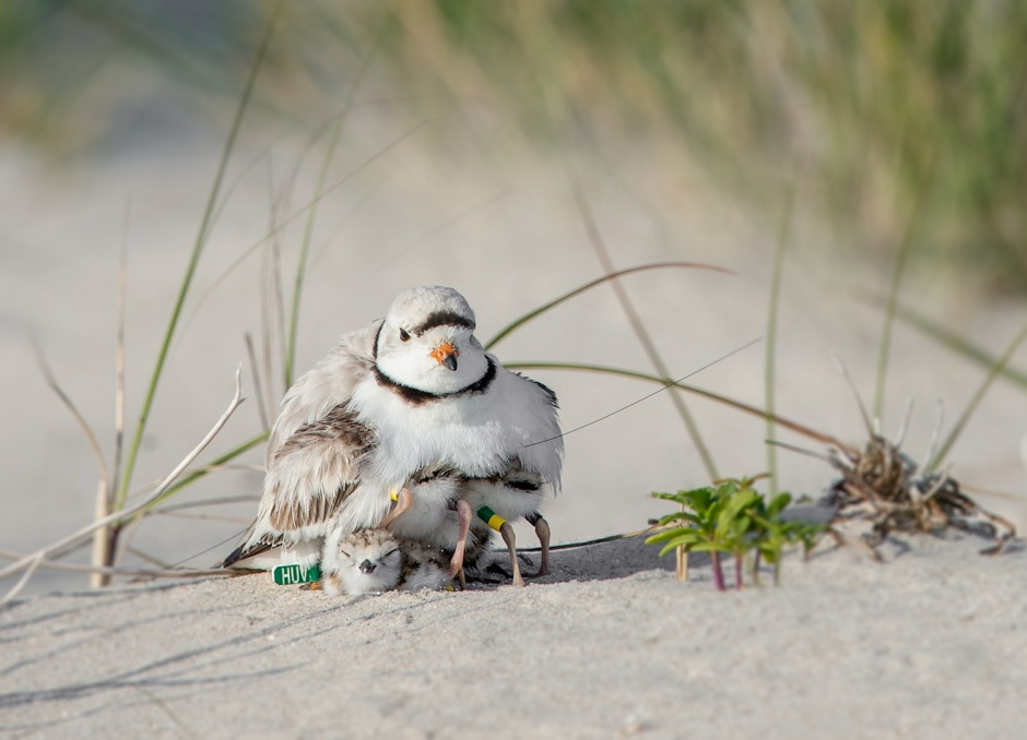 Have you seen one of my color banded Piping Plover?
