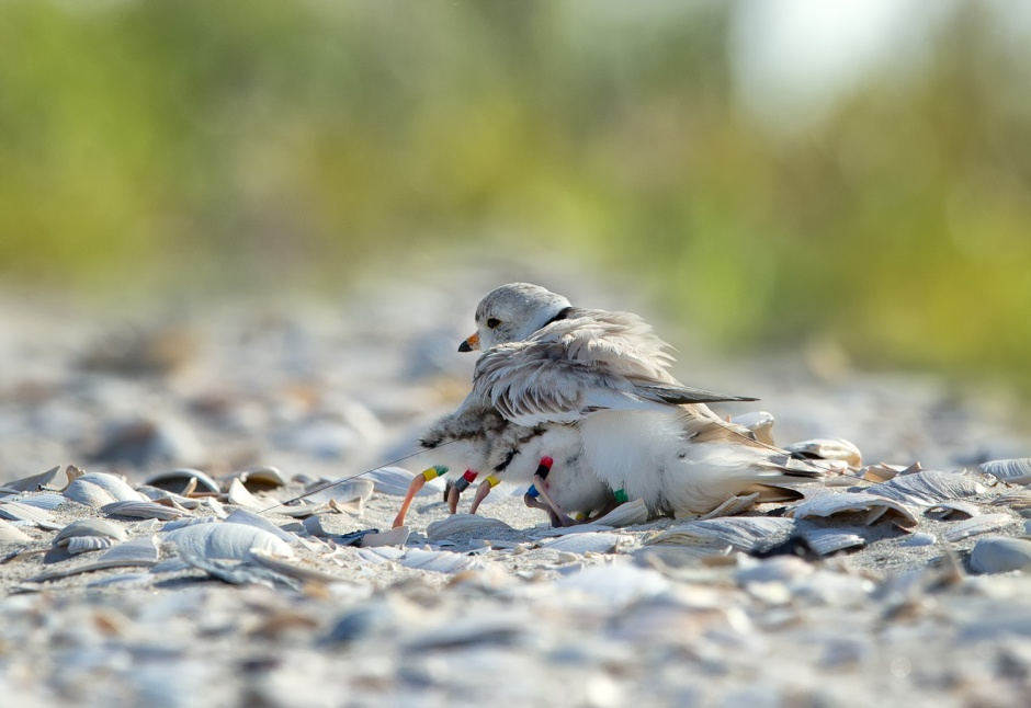 Piping Plover, who already had some pretty spectacular camouflage, are clearly evolving to match the reality of the Post Wild Beach.
