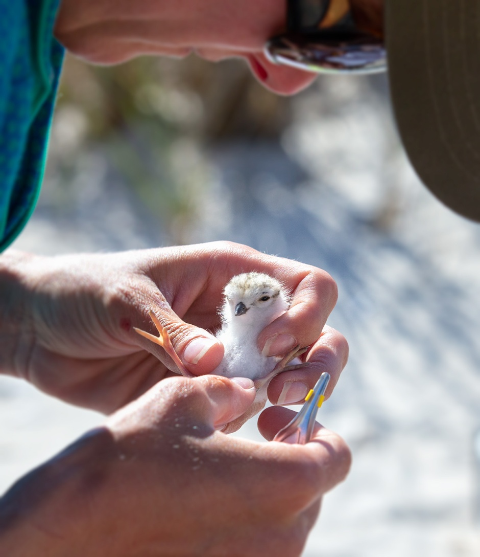 At just a few hours old, Tace-ters four itty-bitties were scooped up by Plover Heroes Michelle & Emily to get their itty-bitty bands and become part of an elite group of PIPL who will become Ambassadors for their species, just like their father Tufters and mother Tacey.