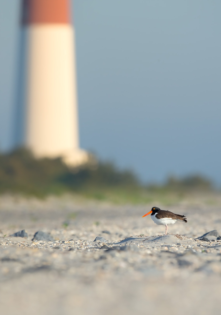 I noticed T2 The Oystercatcher's mate, Linda Hamilton, acting a little funny at sunrise.