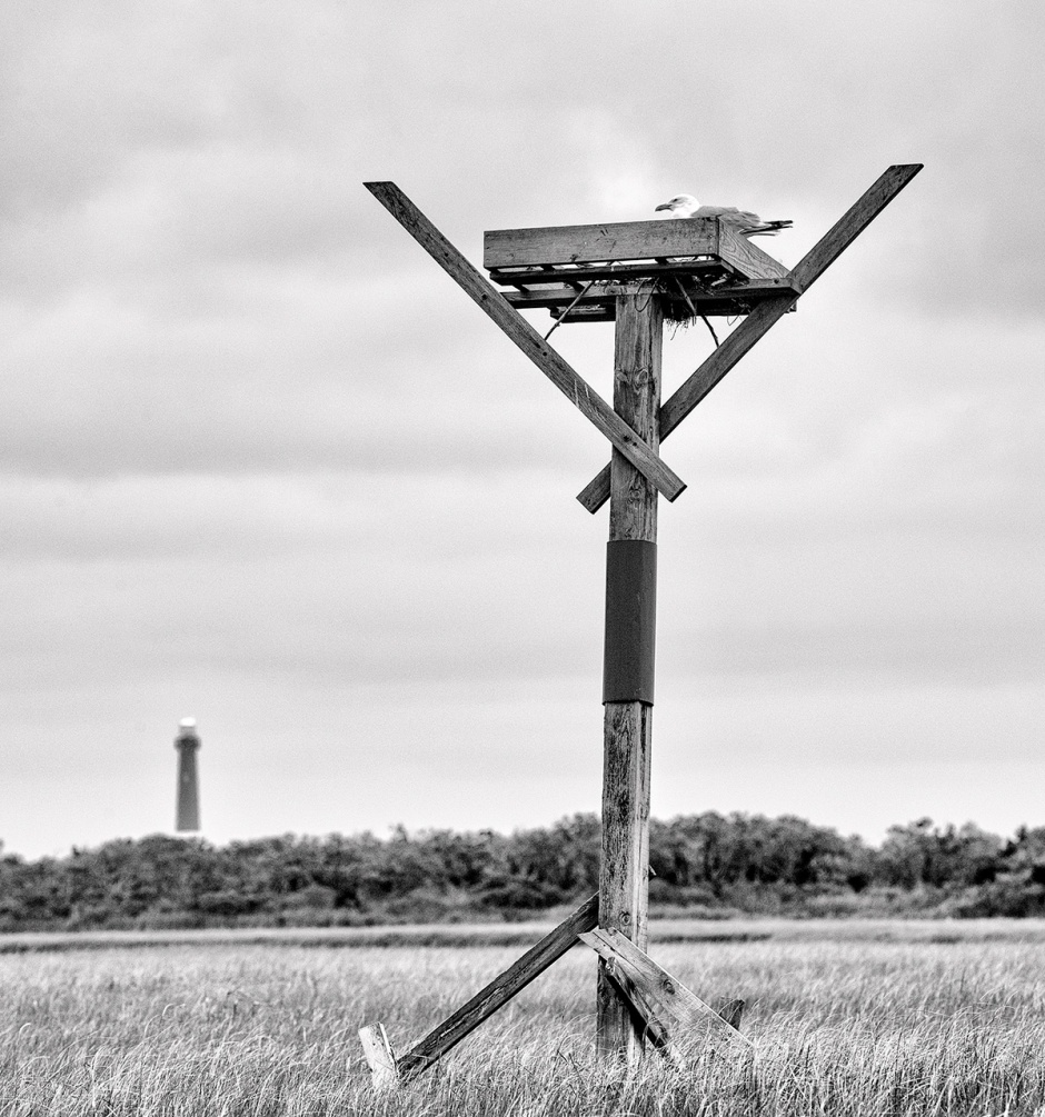 Herring Gull In Osprey Stand