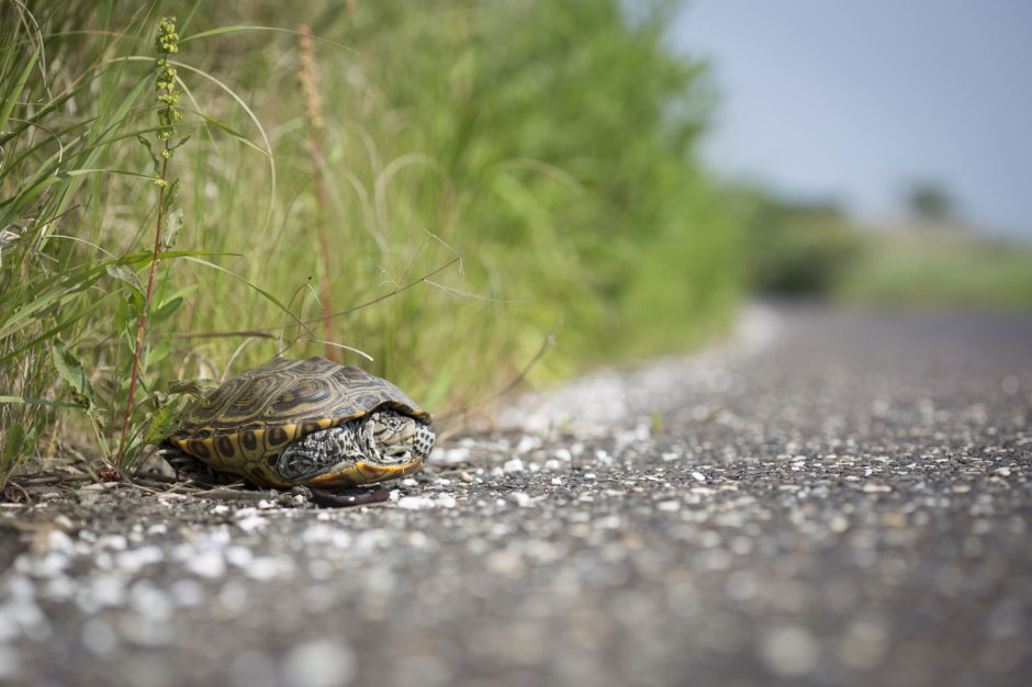 Why did the Terrapin Cross The Road? Because he had to. Photo by Osprey Hero Ben Wurst