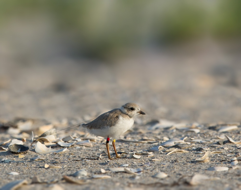 Our adorbz little itty-bity Beth is now a gangly, awkward teenage Plover.