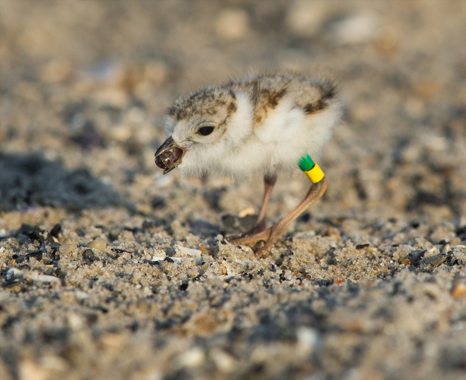 Most folks know that Piping Plover eat wermz.