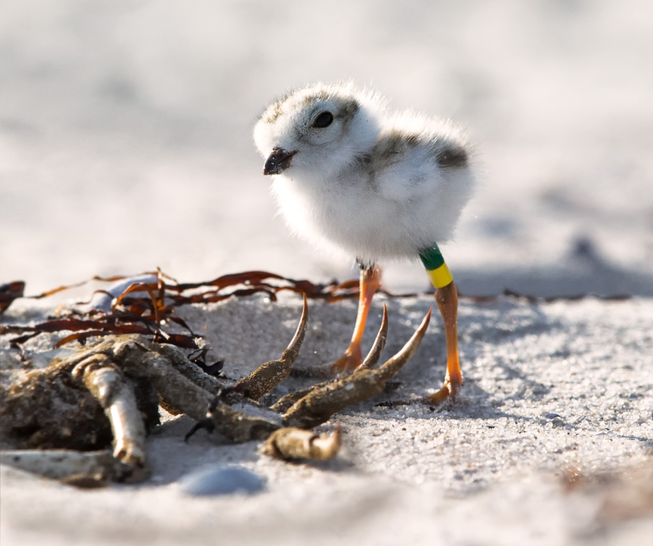 As most Readers know, of Tufters' and Tacey's four chicks this year, only Beth survived. LBI sadly lost our only only other Piping Plover chicks Joe, Amy, and Meg.