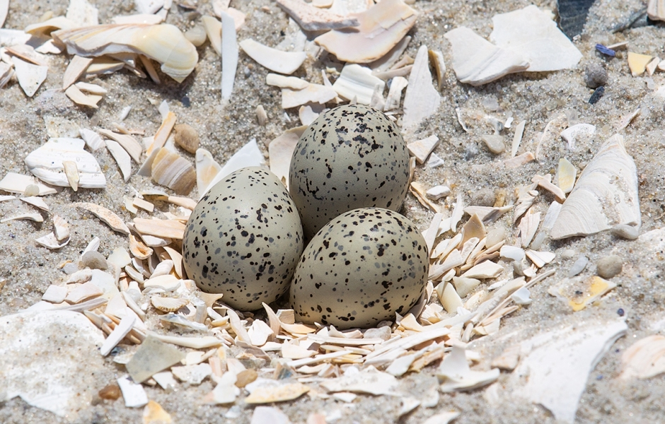 But there are THREE little PIPL in eggs in the nest...