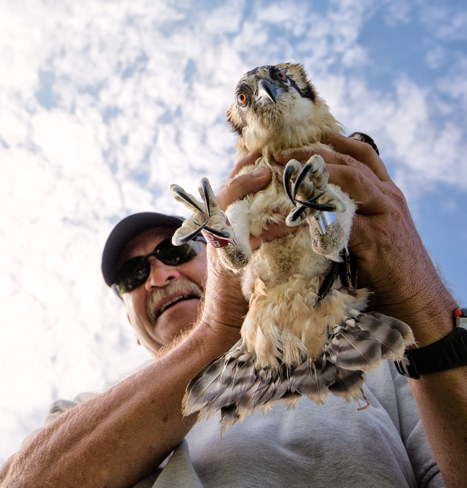 And you're especially lucky because this year you get to meet another Osprey Hero: Island Legend Bill Clarke. Bill is president of the Osprey Foundation, and a huge supporter of LBI's local wildlife.
