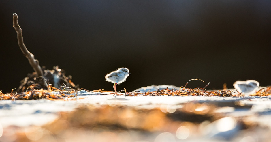 Life is not easy: For the Piping Plover, or for us.