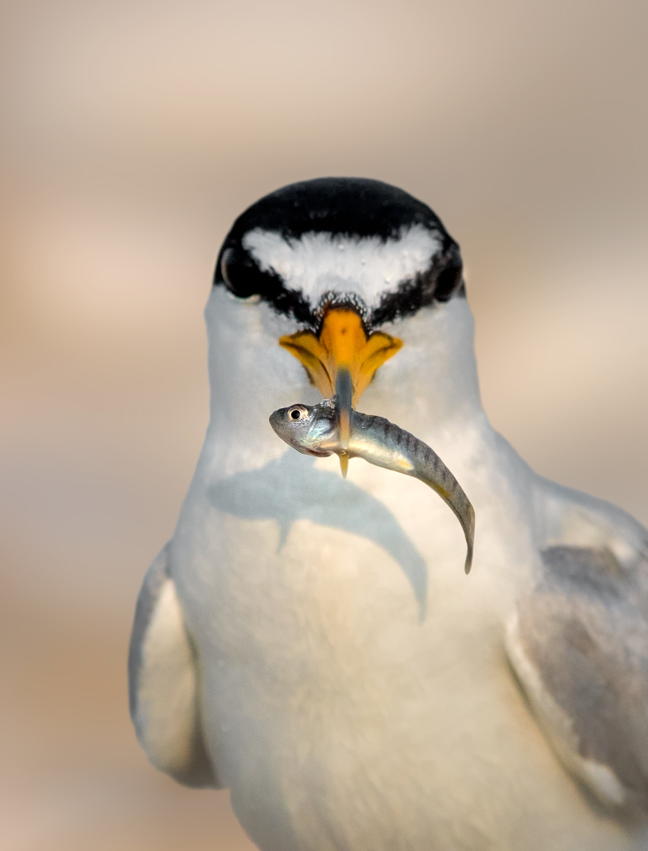 It appears you have attracted the attention of this Least Tern, and now he is trying to court you with his fish.