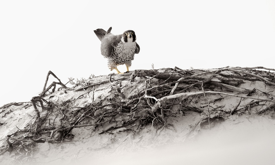 Peregrine Falcon: Looks Like Chicken