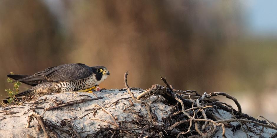 LBI Peregrine Falcon