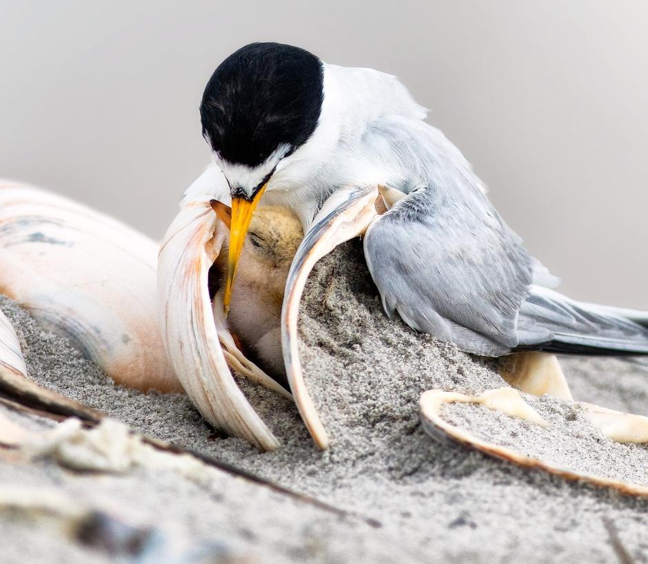 Clam & Tern Snuggle Sandwich