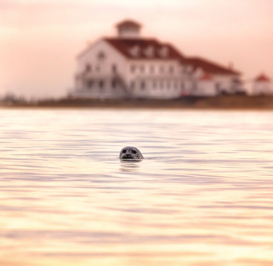 It's tough to imagine with this incredible string of Summery-good temps we've had this Fall, but it's coming. Seals are popping up everywhere around the Island.