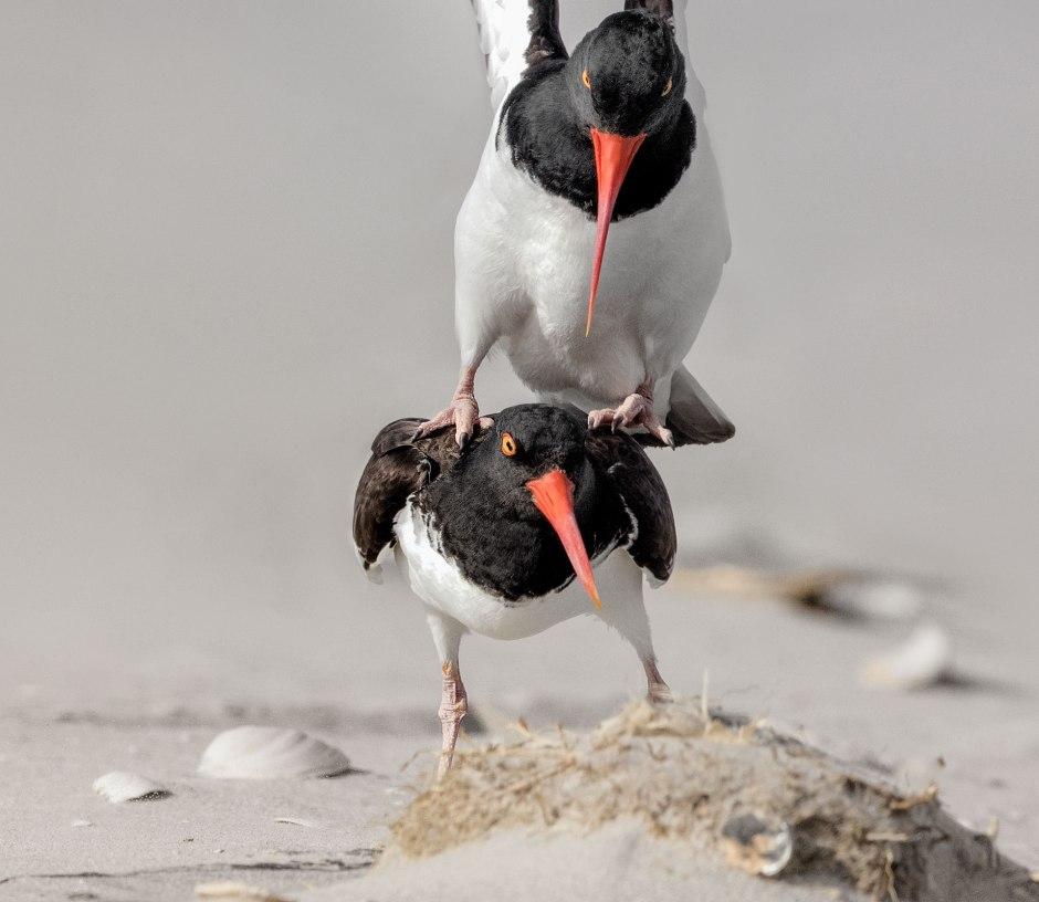 amoy-mating-closeup
