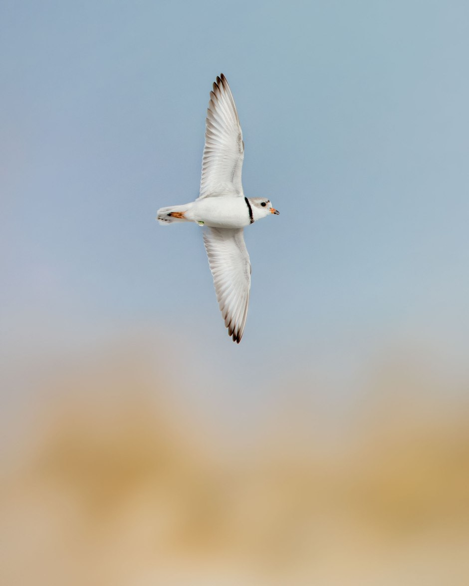 lbi-banded-piping-plover-flight-e