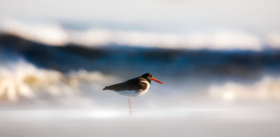 lbi-oystercatcher-huge-surf