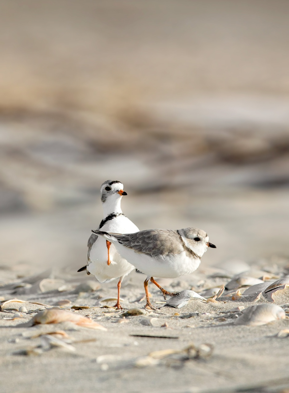 lbi-piping-plover-goose-stepping