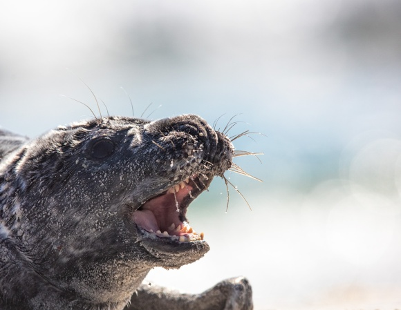 What makes this pup so special is that he is not easily chased back in the water. Even when Stu, our local Marine Mammal Stranding Center volunteer, tried to get him off the beach so he wouldn't get run over, the pup was perfectly happy to fight Stu.