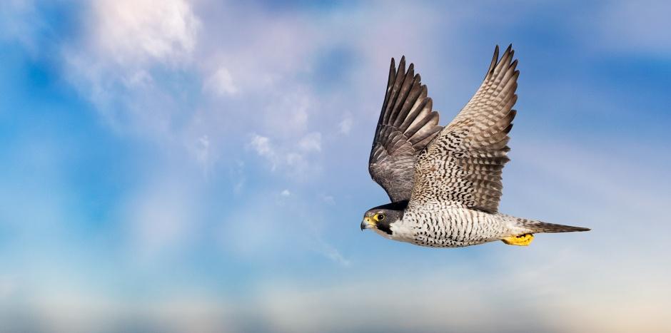peregrine-falcon-flight
